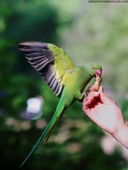 Rose Ringed Parakeet (Psittacula krameri) (Jeff G Photo - 3m+ views - jeffgphoto@outlook.c) Tags: parakeet roseringedparakeet psittaculakrameri stjamesspark parrot bird