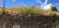 flores amapolas rojas Senderismo Ruta desde Pico de las Nieves a Cueva Grande Gran Canaria  18 (Rafael Gomez - http://micamara.es) Tags: flores amapolas rojas senderismo ruta desde pico de las nieves cueva grande gran canaria