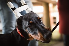 Tasty (zola.kovacsh) Tags: outdoor animal pet dog club show dobermann doberman pinscher pup puppy