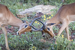fight (memories-in-motion) Tags: fight fighting nature power impala kruger national park game drive head eye grass green flower stone canon 7dmarkii rsa ef70300