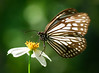 DSC_7252 (靴子) Tags: 蝴蝶 生態 自然 昆蟲 微距 macro inscet nature d850 nikon