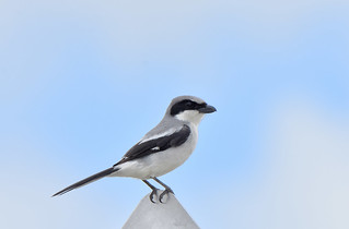 Loggerhead Shrike 4-11-18