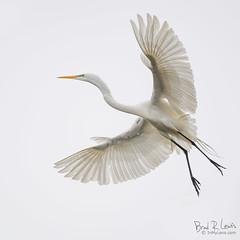 Great Egret (BradRLewis) Tags: greategret birds flight avian birdsinflight santa cruz moss landing monterey