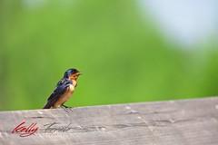 I Will Sing You a Song (kellytarala) Tags: birds reddeer alberta spring swallow treeswallow bird canon canoncanada sigma sigmalens