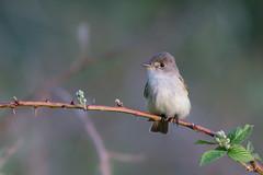 Willow Flycatcher (Jesse_in_CT) Tags: willowflycatcher flycatcher nikon nikon200500mm