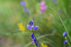 May 2018 023 (tango-) Tags: fiore flower fioriselvatici emilia romagna