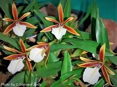 Dinema polybulbon (Sylvio-Orquídeas) Tags: orquídeas orchids orchidaceae espécies species flores flowers garden dinema polybulbon