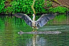 Landing (Geoff Henson) Tags: heron bird lake water pond log trees reflection feathers wings splash beckenham bromley london kent