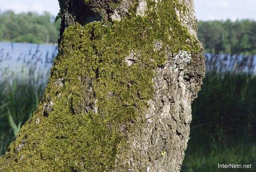 Шацький Національний Природний Парк Озеро Пісочне Стовбури дерев InterNetri  Ukraine 377