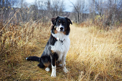 (jonnaawesterberg) Tags: aussie australianshepherd pet dog blackandwhite