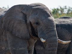 Big bull elephant in musth (Nanooki) Tags: africa etoshanationalpark location namibia ©suelambertlrpscpagb oshikotoregion na musth must elephant male bull
