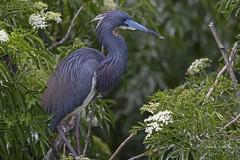 Tricolored Heron (Stephen J Pollard (Loud Music Lover of Nature)) Tags: garzatricolor egrettatricolor tricoloredheron shorebird aveplayera bird ave