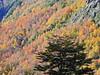 Otoño en Puesco (Mono Andes) Tags: andes chile chilecentral regióndelaaraucanía otoño parquenacional parquenacionalvillarrica bosque