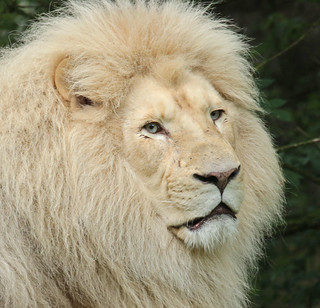african lion Credo Ouwehands BB2A5906