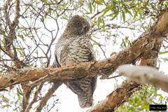 Powerful Owl (Ninox strenua) (Dave 2x) Tags: ninoxstrenua ninox strenua powerfulowl powerful owl centennialpark sydney nsw australia leastconcern endemic endemicspecies