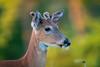 YoungVelvet (jmishefske) Tags: 2018 spring nikon nature d500 center whitnall milwaukee franklin antler june growth rack wisconsin wildlife velvet park wehr whitetail deer buck