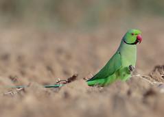 Rose-Ringed Parakeet (S. Saqib Shams-II) Tags: psittacula krameri roseringed parakeet karachi pakistan sindh