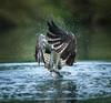 EYE can see you!!!! (Paul M Loader) Tags: blue 2810 hornmilltroutfarm ospreypandionhaliaetus bird prey sea hawk river fish canon eos 5d mark iv ef300mm f28l is usm high iso rutlandwater