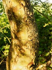 Light on Trees-E5190360 (tony.rummery) Tags: bark em10 eveningsun mft microfourthirds omd olympus patterns shadows surreyhills tree peasmarsh england unitedkingdom gb