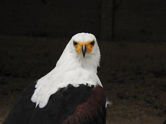African Fish Eagle (Simply Sharon !) Tags: africanfisheagle eagle birdofprey raptor preditor bird hawkconservancytrust