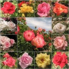 May Roses (Tölgyesi Kata) Tags: rosen rosa rose rózsa rózsakert rosegarden tuzsonjánosbotanikuskert botanikuskert botanicalgarden withcanonpowershota620 mosaic mozaik spring flower rosier blossom tavasz fleur virág nyíregyháza collage may
