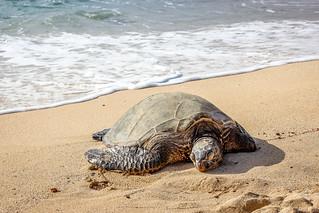 Mea Nui the Turtle