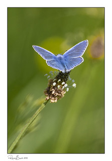 Beautiful Blue with a Halo of Gold  - Common Blue butterfly