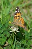 Painted Lady (Cynthia cardui) Butterfly (Brian Carruthers-Dublin-Eire) Tags: painted lady cynthia cardui butterfly animalia arthropoda insecta lepidoptera nymphalidae nymphalinae nymphalini vanessa áilleán la belledame distelfalter paintedlady cynthiacardui cynthiaáilleán labelledame paintedladybutterfly animal nature wildlife ireland eíre flower macro