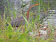 Garza imperial (Ardea  purpurea) (100) (eb3alfmiguel) Tags: aves acuaticas ciconiiformes ardeidae de garza imperial ardea purpurea pájaros hierba pájaro animal agua