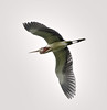 06-02-18-0020890 (Lake Worth) Tags: animal animals bird birds birdwatcher everglades southflorida feathers florida nature outdoor outdoors waterbirds wetlands wildlife wings
