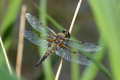 Four-spotted Chaser (LeighBirder) Tags: fourspotted chaser libuella quadrimaculata fingeringhoe wick dragonfly