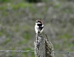 Woodchat Shrike: Cacares Plains: Extramadura (andyh866) Tags: extramadura spain cacares plains woodchat shrike extremadura