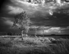 IR-Birch 4x5 Rollei IR (Tony Bokeh Larsson) Tags: speedgraflex4x5 carlzeissjenatessar120mm rolleiinfrared 4x4 kodakhc110 infrared nature birch water outside monochrome film clouds sweden sun weather rain storm grass