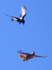 Raven diving on Red-tailed Hawk (David Bygott) Tags: usa arizona ruby sycamorecanyon raven attacking redtailed hawk