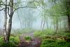 Spring Mist III (J C Mills Photography) Tags: peakdistrict derbyshire woodland moorland spring mist fog trees birch green light bilberry leaves landscape outdoors