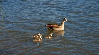 IMGP3438 Egyptian Goose Family