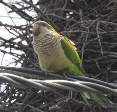 Monk Parakeet In Carteret (Tombo Pixels) Tags: carteret180090 monkparakeet monk parakeet carteret nj newjersey twb1 wild