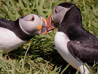 And they called it puffin love... (Lunga, Treshnish Isles)