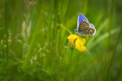 Common blue butterfly (chrissmithphotos1) Tags: commonbluebutterfly polyommatusicarus animal antennae beautiful blossom butterfly closeup countryside flora flower green insect macro natural nature nobody plant portrait summer wild wildlife