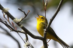 Wilson's warbler. (ricmcarthur) Tags: cardellinapusilla wilsonswarbler newfoundland ricmcarthur rickmcarthur rondeauric