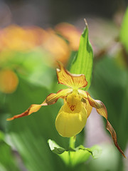 Lady's Slipper Orchid (Through Serena's Lens) Tags: lady'sslipperorchid orchid cypripedium calceolus bokeh dof plant springtime botanical garden macro blossom flower canoneos6dmarkii