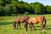 Diner synchronisé / Synchronized dinner (dbrothier) Tags: eos6d canon6d canonef1740mmf4lusm lr chevaux horses pommeuse fauna light evening lumiere soir 7dwf