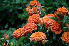 Rose bush (Kapitalist63) Tags: flowers flora nature beauty color colour kind look view sight light season garden bright dacha nikon lily rose