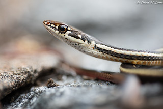 Chaparral Whipsnake (Masticophis lateralis lateralis)