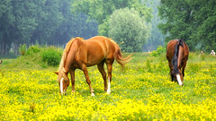 Henry David Thoreau — 'All good things are wild and free.' (genevieve van doren) Tags: damme horses chevaux nature yellow flowers fleurs jaunes trees arbres
