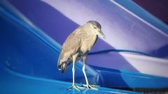 Socozinho - Striated Heron (sileneandrade10) Tags: sileneandrade socó pelecaniformes ardeidae butoridesstriata striatedheron pássaro socozinho ave animal nature natureza nikon nikoncoolpixp900