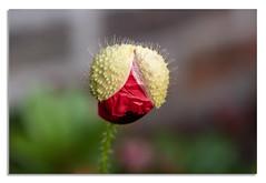 Poppy is bursting at ... (johnhjic) Tags: johnhjic poppy red green wall growing burst bursting spiky folds unfolding unfold