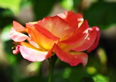 DSC_0257 (PeaTJay) Tags: nikond750 reading lowerearley berkshire macro micro closeups gardens outdoors nature flora fauna plants flowers rose roses rosebuds