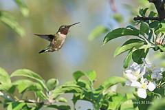 The Flying Jewel Bird (JKissnHug - Getting Back to Birding & Photography) Tags: rubythroatedhummingbird commercetwp bird hummer hummingbird michiganapples michigan birds