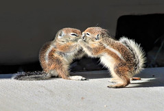 Get Outta My Face (Monkeystyle3000) Tags: baby antelope ground squirrel wildlife desert